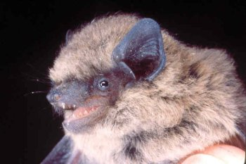 Bats At Emo
